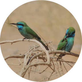 2 bee-eaters birds at kibbutz lotan lotan