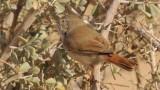 Asian Desert Warbler Avrona 1 190114