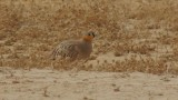 Crowned Sandgrouse Uvda 3 020212