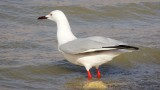 Slender-billed Gull km 20 030414