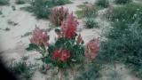 צמחייה בדיונות
