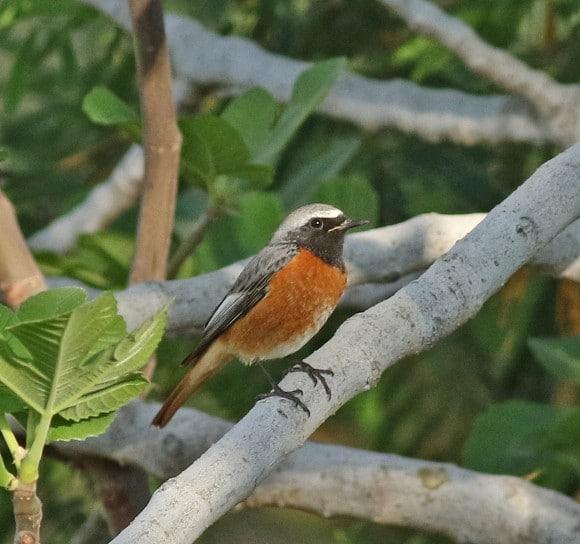Ehrenberg's Redstart