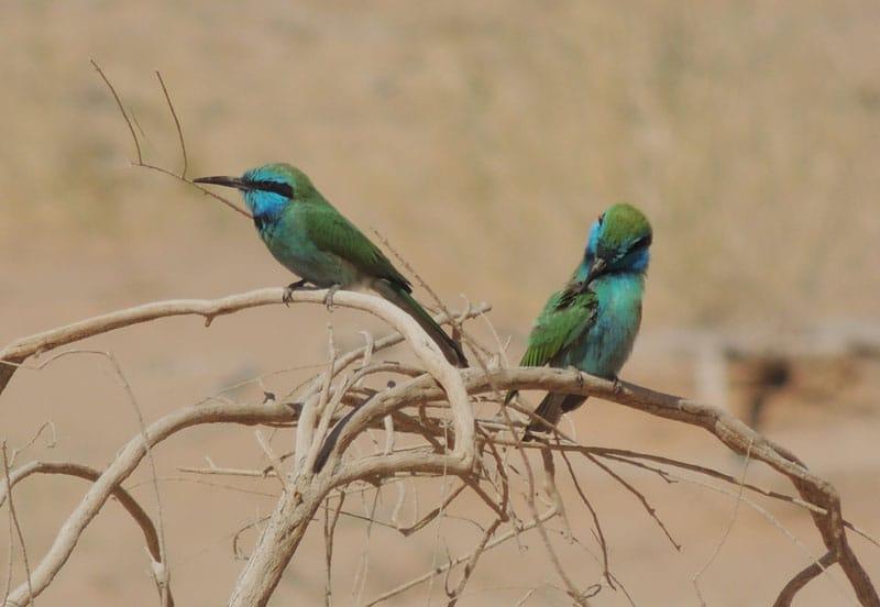 2 ציפורים מסוג שרקרק בקיבוץ לוטן